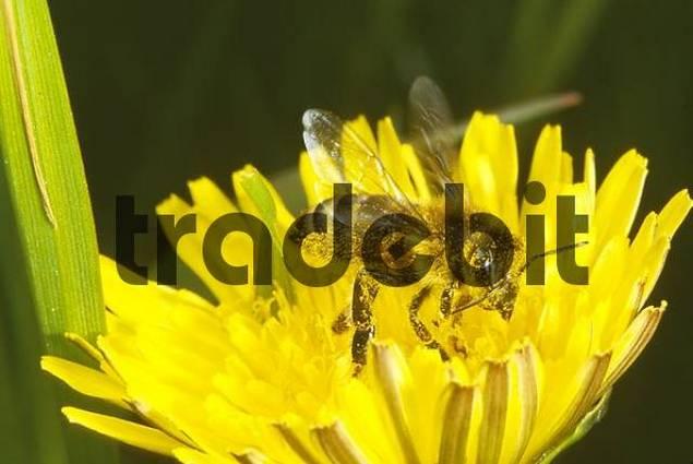 Honeybee, Bee collecting pollen on Dandelion Taraxacum officinale, Gronau, Muensterland, Nordrhein-Westfalen, Germany