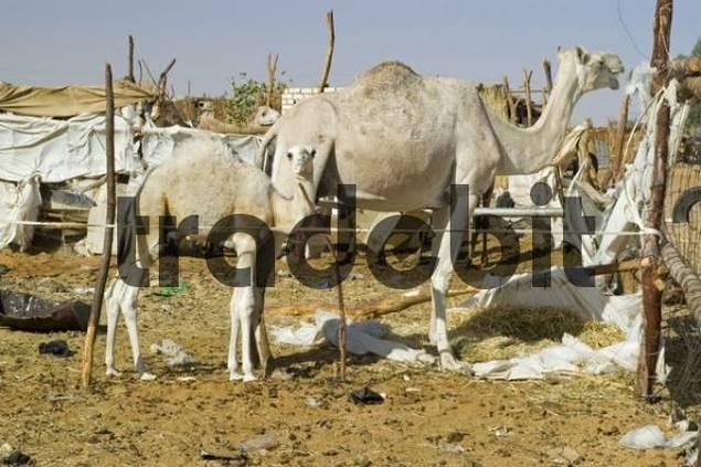 camel at the camel market at Kufra, Kufrah oasis, Libya