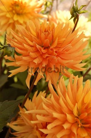 Orange Cactus Dahlia (Dahlia) flowers