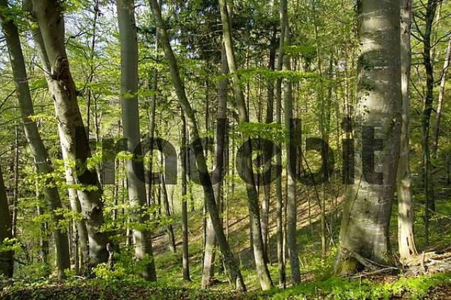 a forest of beech trees Fagus sylvatica in spring
