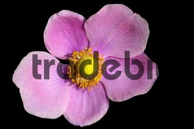 Anemone hupehensis Praecox