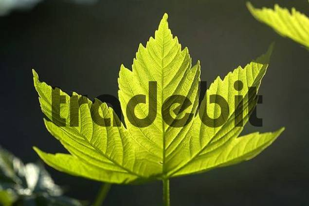 Young leave of maple Acer pseudoplatanus L.