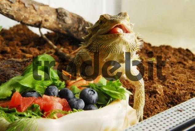 Central Bearded Dragon Pogona vitticeps eating fruits