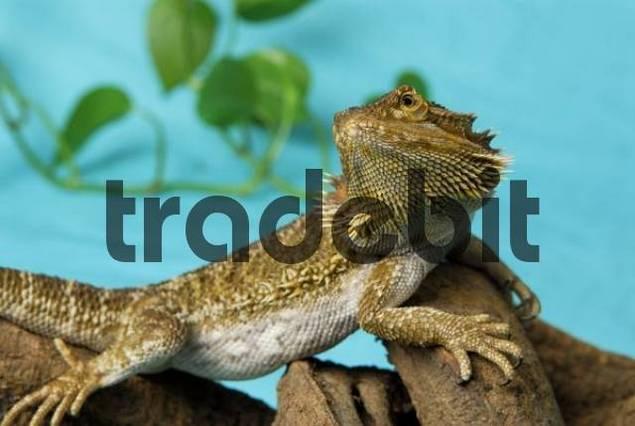 Central Bearded Dragon Pogona vitticeps on a branch