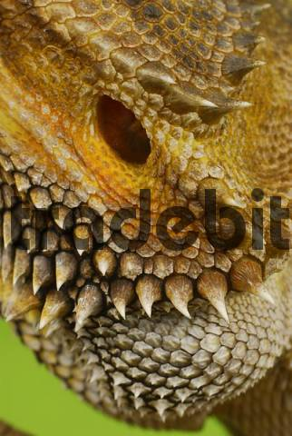 Central Bearded Dragon Pogona vitticeps, close-up, head with pricks and ear