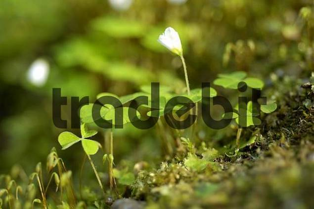forest clover Oxalis acetosella