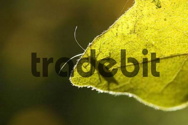 plant louse aphid on a maple leave
