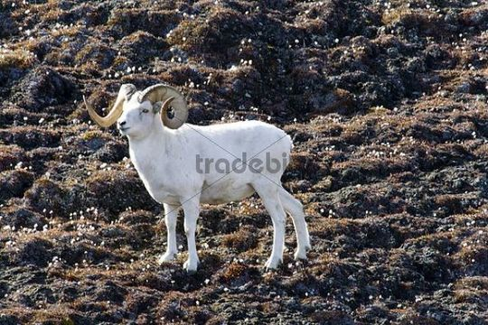 Dall Sheep Ram, Ovis dalli, Sheep Mountain, St. Elias Range, Kluane National Park, Yukon Territory, Canada