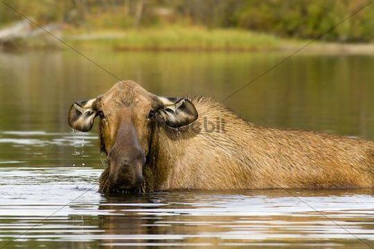 Cow Moose, Alces alces, feeding on water plants, Big Salmon Lake, Yukon Territory, Canada