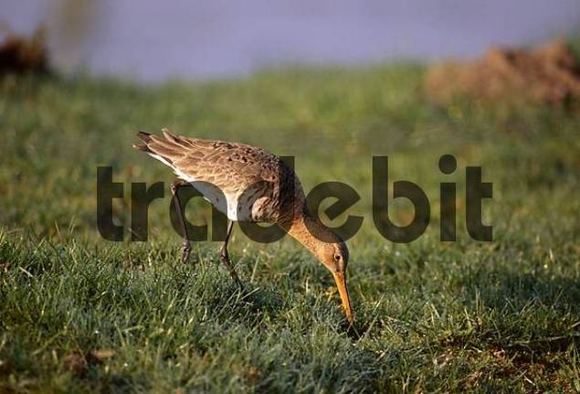 Black-tailed Godwit, adult bird at foraging, Ellewick, Münsterland, Nordrhein-Westfalen, Germany