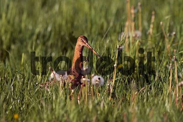 Black-tailed Godwit, adult bird sitting in grasland