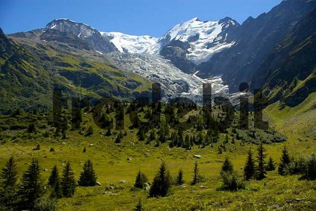 Single conifer trees at tree line with Glacier de Bionnassay Haute-Savoie France