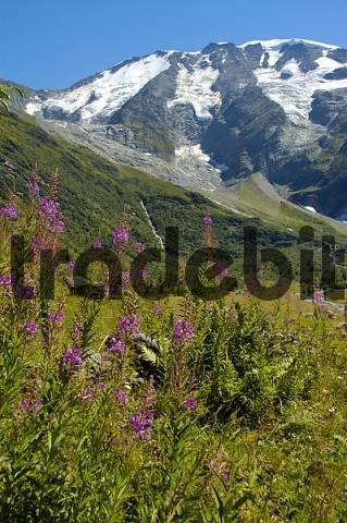 Flower meadow with Epilobium angustifolium in the Paturages de Miage below glacier covered mountain Dome de Miage Haute-Savoie France