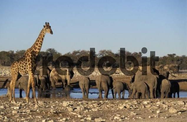 Elephants Loxodonta africanaand giraffe Giraffa camelopardalis at a waterhole, Etosha National Park, Namibia