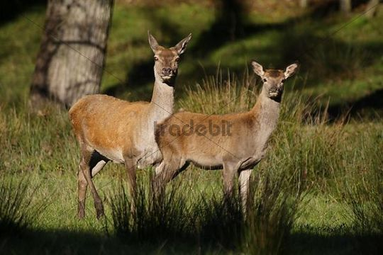 Red Deer hind and calf (Cervus elaphus), Lueerwald, North Rhine-Westphalia, Germany