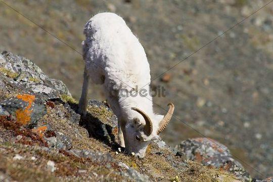 Dall sheep, Ovis dalli, grazing, young ram, Sheep Mountain, St. Elias Range, Kluane National Park, Yukon Territory, Canada