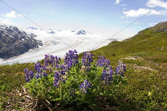 Arctic Lupin, Lupinus arcticus, Harding Icefield, Kenai Peninsula, Alaska, USA