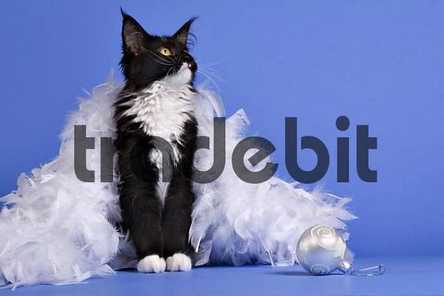 Maine Coon Cat with feather boa and Christmas ornament