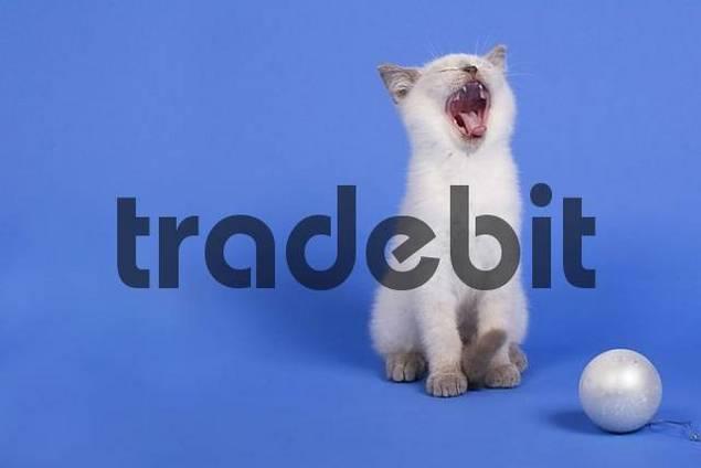 Kitten yawning
