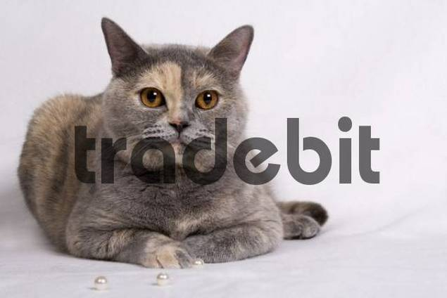British Shorthair cat with pearls