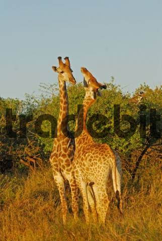 Giraffes  Giraffa camelopardials in the St. Lucia Wetland, Phinda Private Game Reserve, South Africa