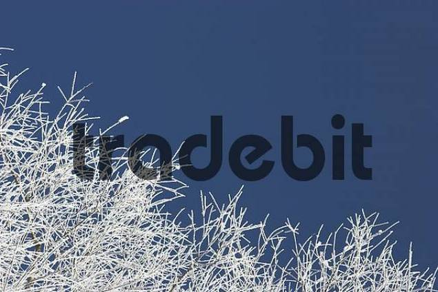 hoarfrosted twigs against blue sky, with copy space