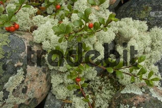 Reindeer Lichen or Caribou Moss Cladonia rangiferina, Cowberries or Mountain Cranberries Vaccinium vitis-idaea, Hiidenporti National Park, Finland, Europe