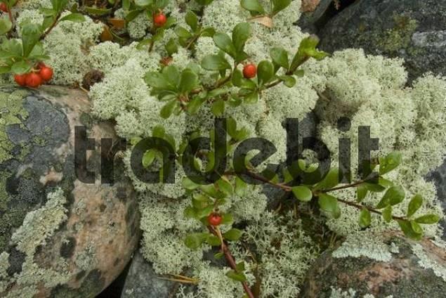 Reindeer Lichen or Caribou Moss Cladonia rangiferina, Cowberries or Mountain Cranberries Vaccinium vitis-idaea, Hiidenporti National Park, Finland, Europe