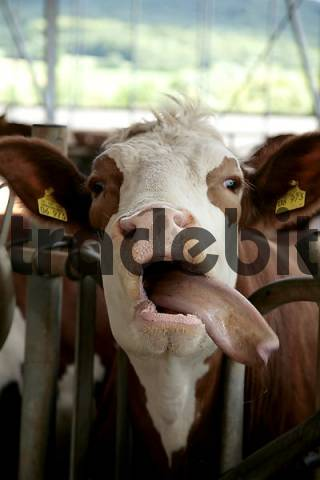 cow with tongue hanging out