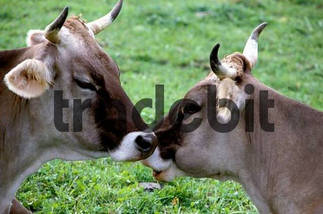 cows sniffing each other