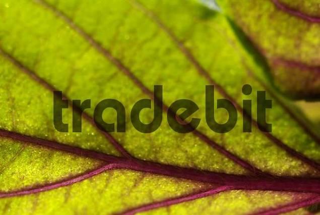 Leaf of the basil - Ocimum basilicum.