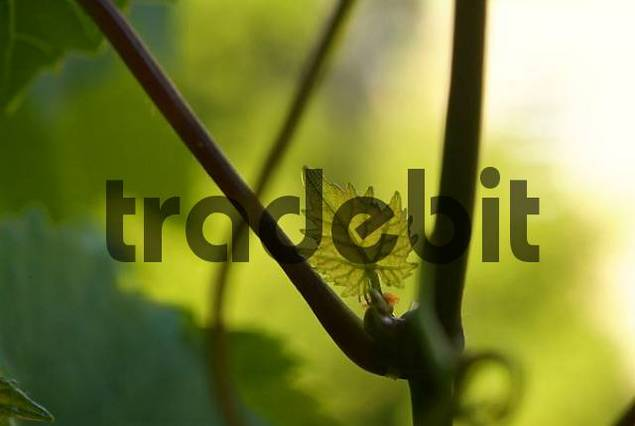 Young leaf of a vine cirrus.