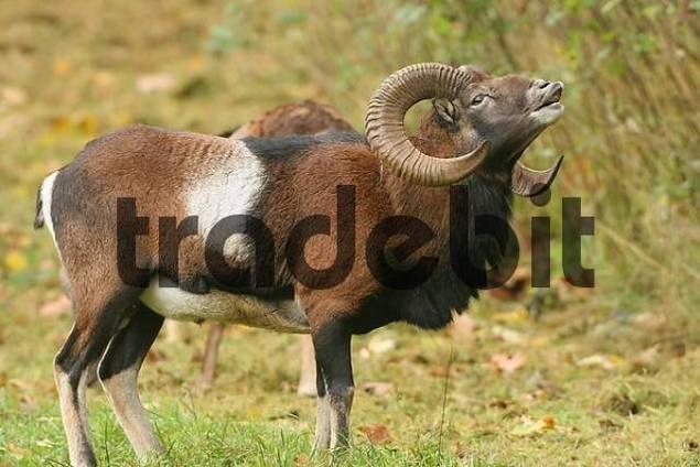 Mouflon ram Ovis ammon musimon, flehmen response during rut