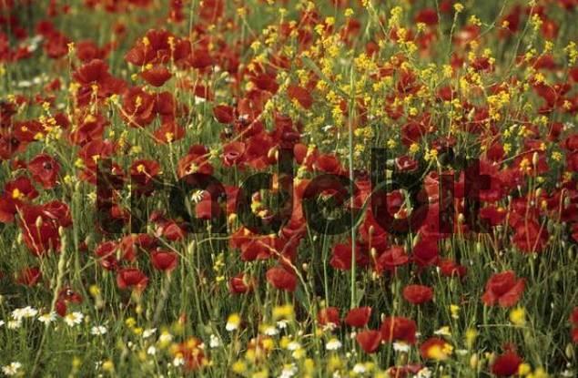 meadow with poppy flowers on Samothraki island, Thrakia, Greece