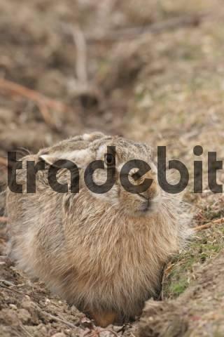 European or Brown Hare Lepus europaeus sitting in furrow
