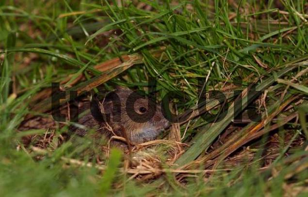 Common Vole Microtus arvalis in the grass