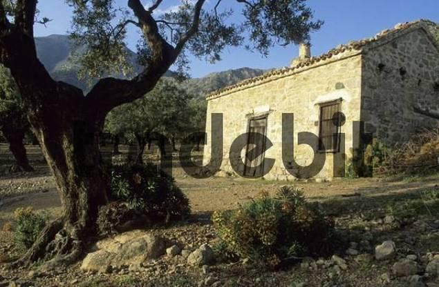 old house in a olive tree forest, Samothraki island, Thrakia, Greece