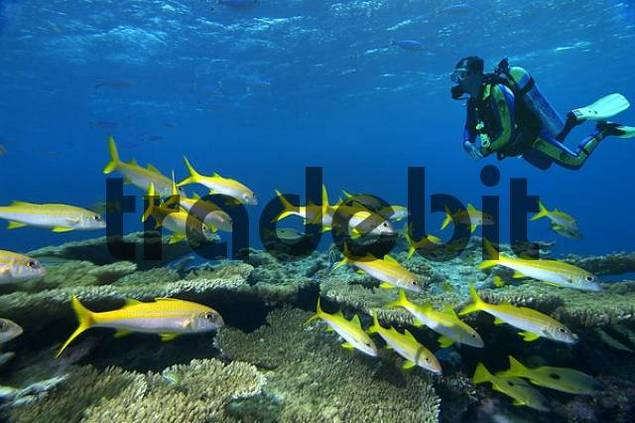 Middle East Red Sea Yellowfin goatfish Mulloidichthys vanicolensis COMPOSINGgt diver