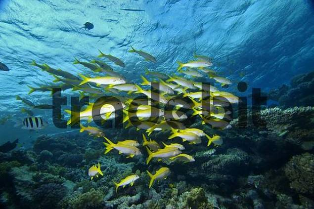 Middle East Egypt Red Sea Yellowfin goatfish Mulloidichthys vanicolensis