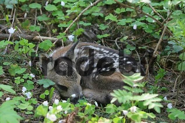 Roe Deer Capreolus capreolus, fawn lying in common wood sorrel Oxalis acetosella