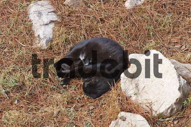 Famous stray cats of Rome, Area Sacra del Largo Torre Argentina, Rome, Italy, Europe