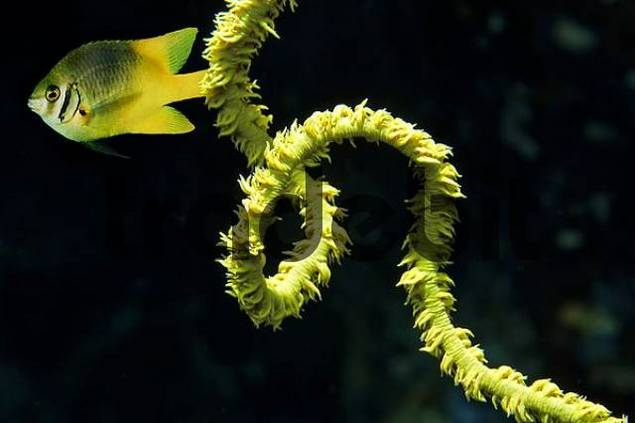 Middle East Red Sea Black Whip Coral Cirripathes sp, Digital Compositegt Yellowfin damsel