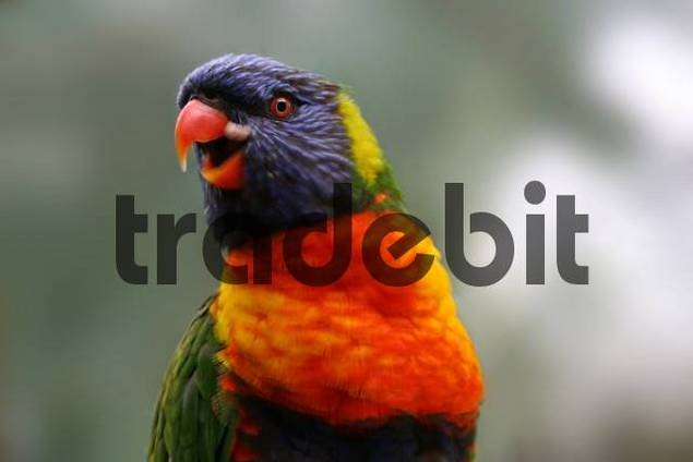Portrait of a lory, frontal shot, beckoning