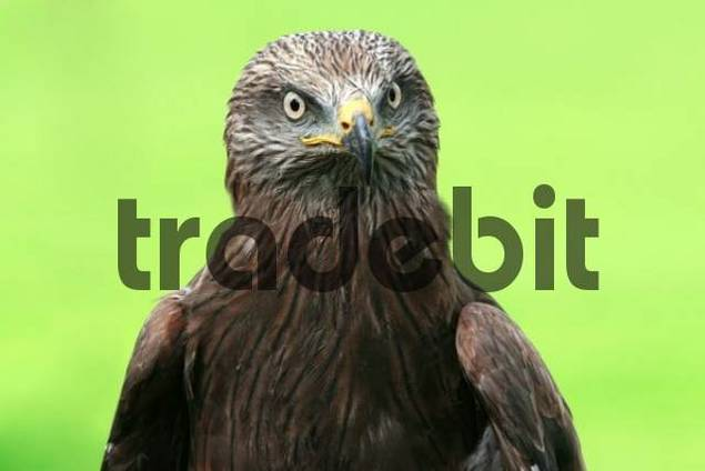 Portrait of a black kite, frontal shot