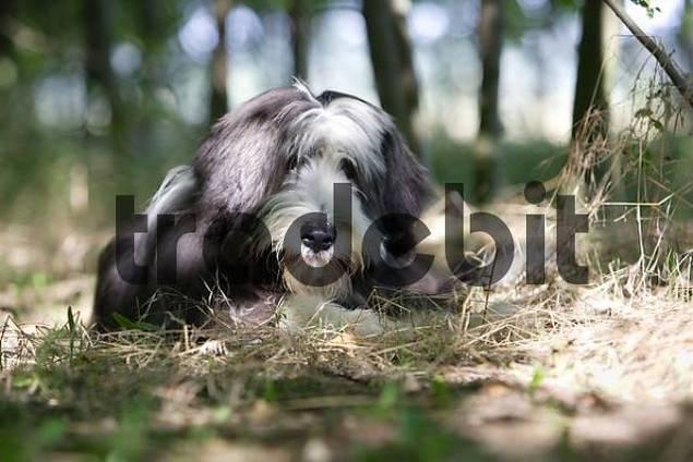 Bearded collie lying between trees