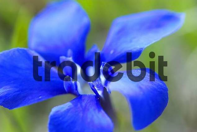 spring gentian gentiana verna, one of the smallest gentians with a high of 10 cm and a blossom with 1-2 cm in diameter. Located in alpine and subalpine highlands mostly in central europe, but also