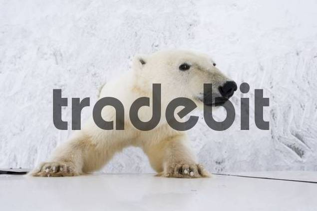 Polar Bear Ursus maritimus, curious, leaning up against a Tundra Buggy in Churchill, Manitoba, Canada