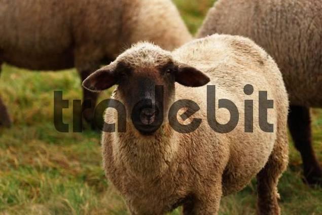 Sheep cross breeding of a black head and a Merino