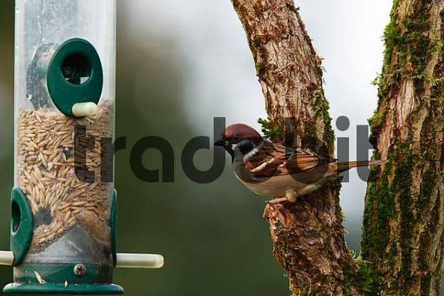 Tree Sparrow or Eurasian Tree Sparrow or German Sparrow Passer montanus