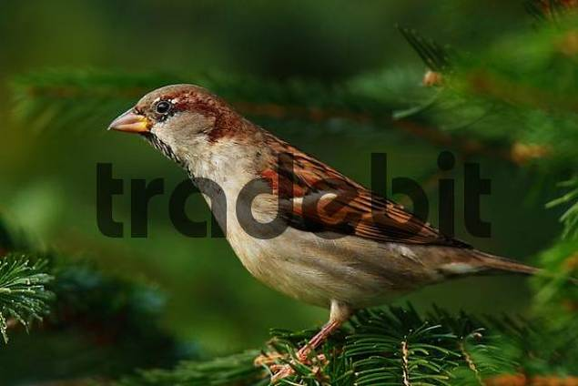 House Sparrow or English Sparrow Passer domesticus
